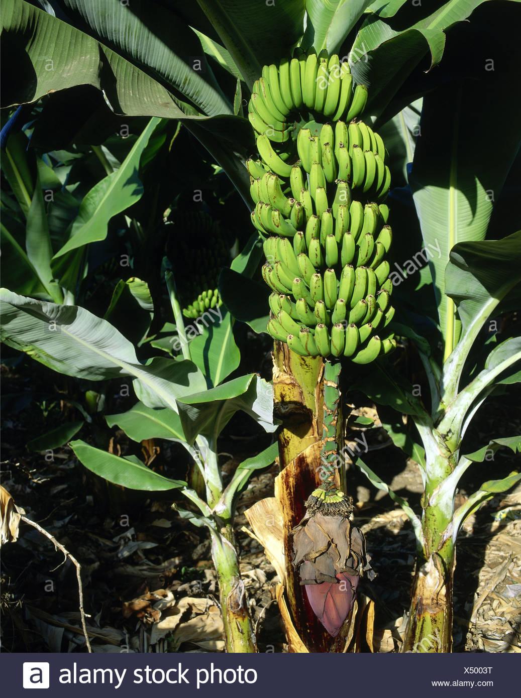 botany, banana, (Musa paradisiaca sapientum), bananas, perennial, blossom with tree, Teneriffe, Spain, Additional-Rights-Clearance-Info-Not-Available - Stock Image