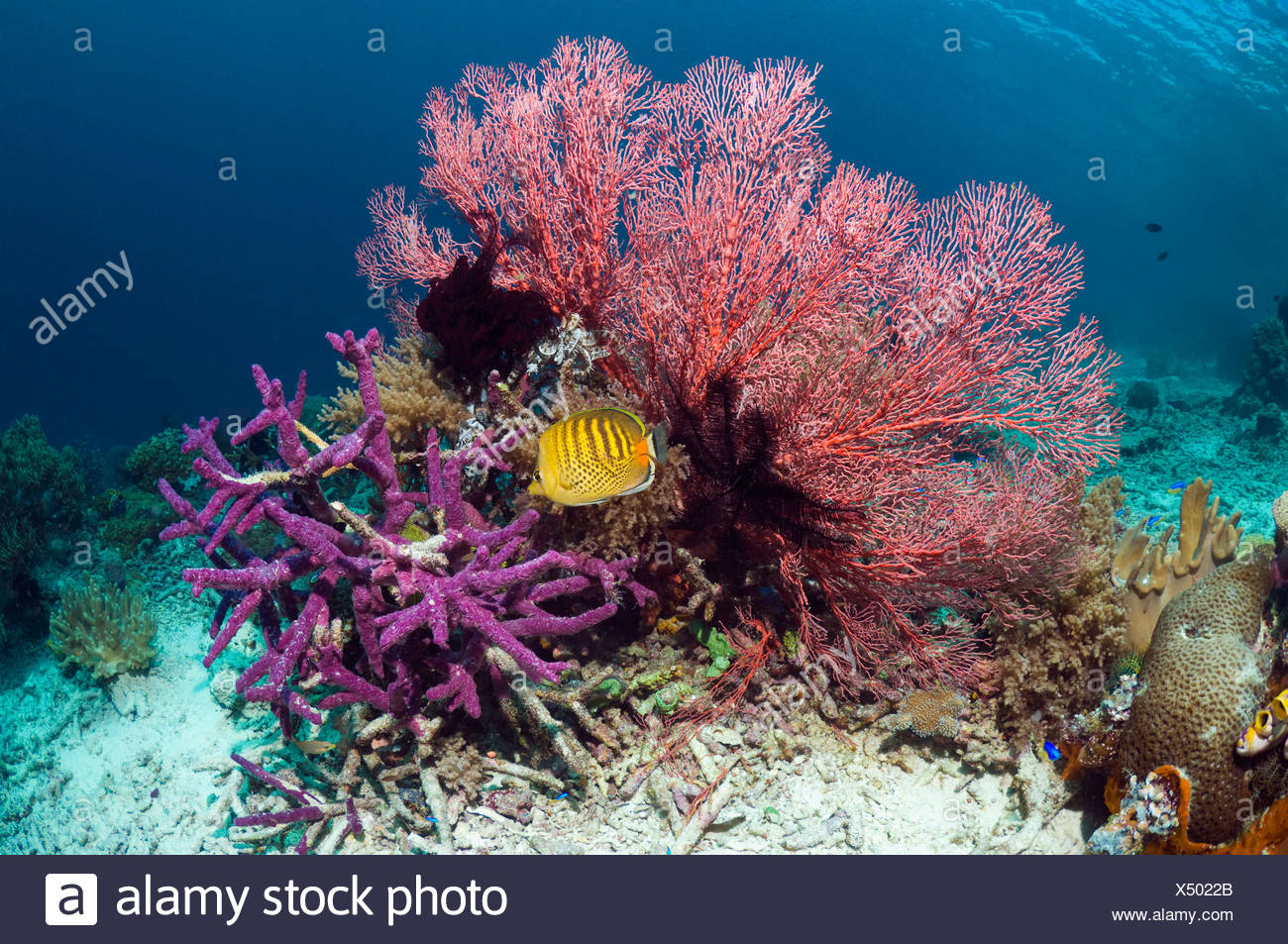 Spot-banded butterflyfish with gorgonian and encrusting purple sponge on coral reef Misool, Raja Empat, West Papua, Indonesia. - Stock Image