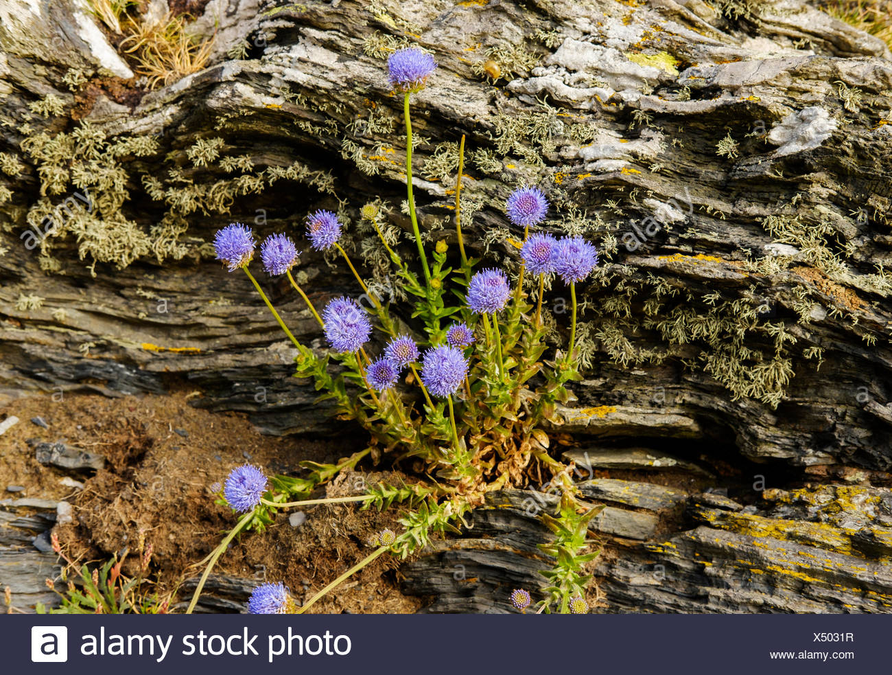 Sheep's bit scabiouses (Jasione montana), on slate, Cornwall, England, Great Britain - Stock Image