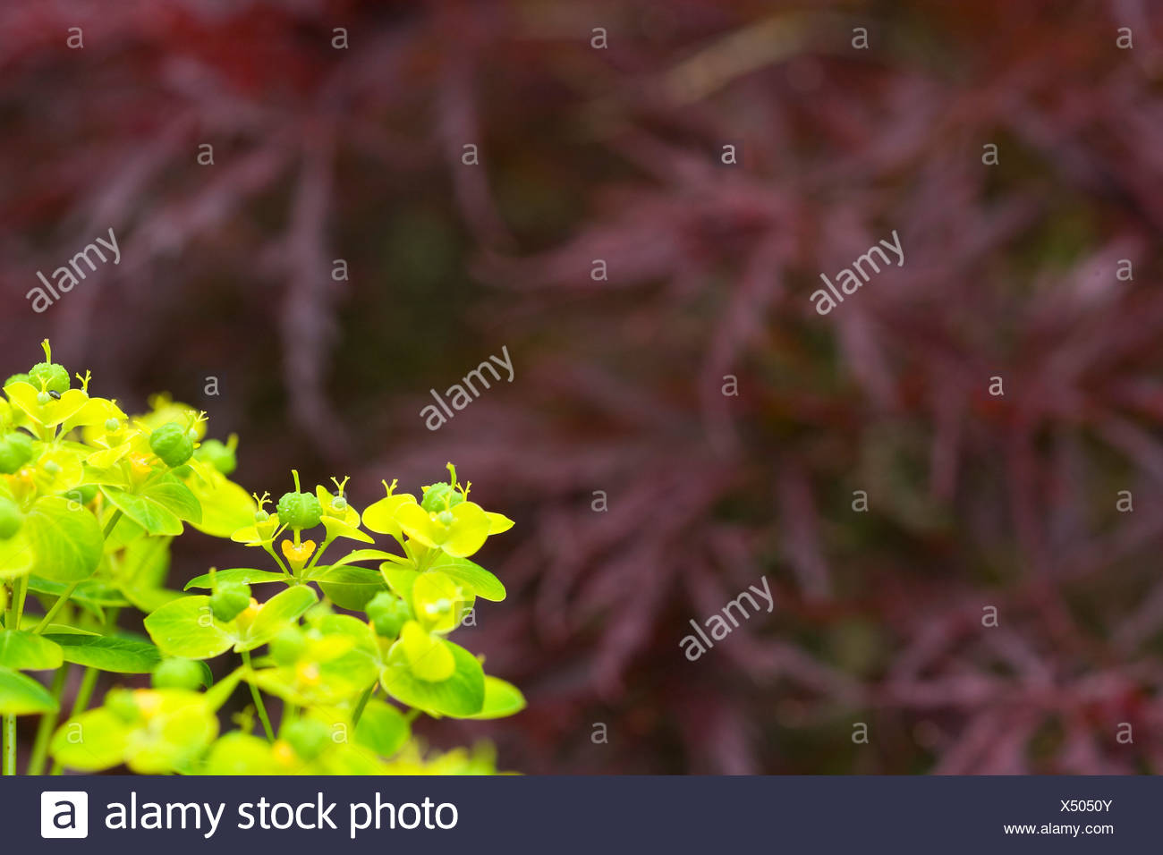 Acer palmatum Red Dragon with Euphorbia to fore - Stock Image