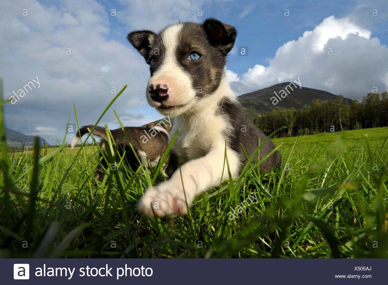 An Alaskan husky puppy, Finnmark, Norway, Europe Stock Photo