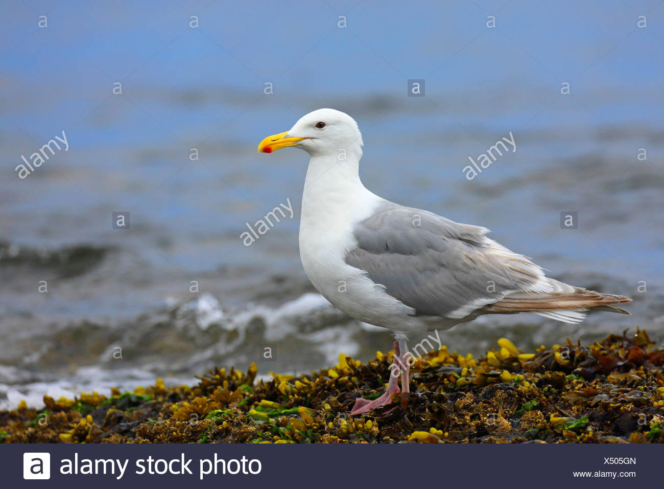 glaucous-winged gull (Larus glaucescens), standing on seaweeds at the seaside, Canada, British Columbia, Victoria - Stock Image