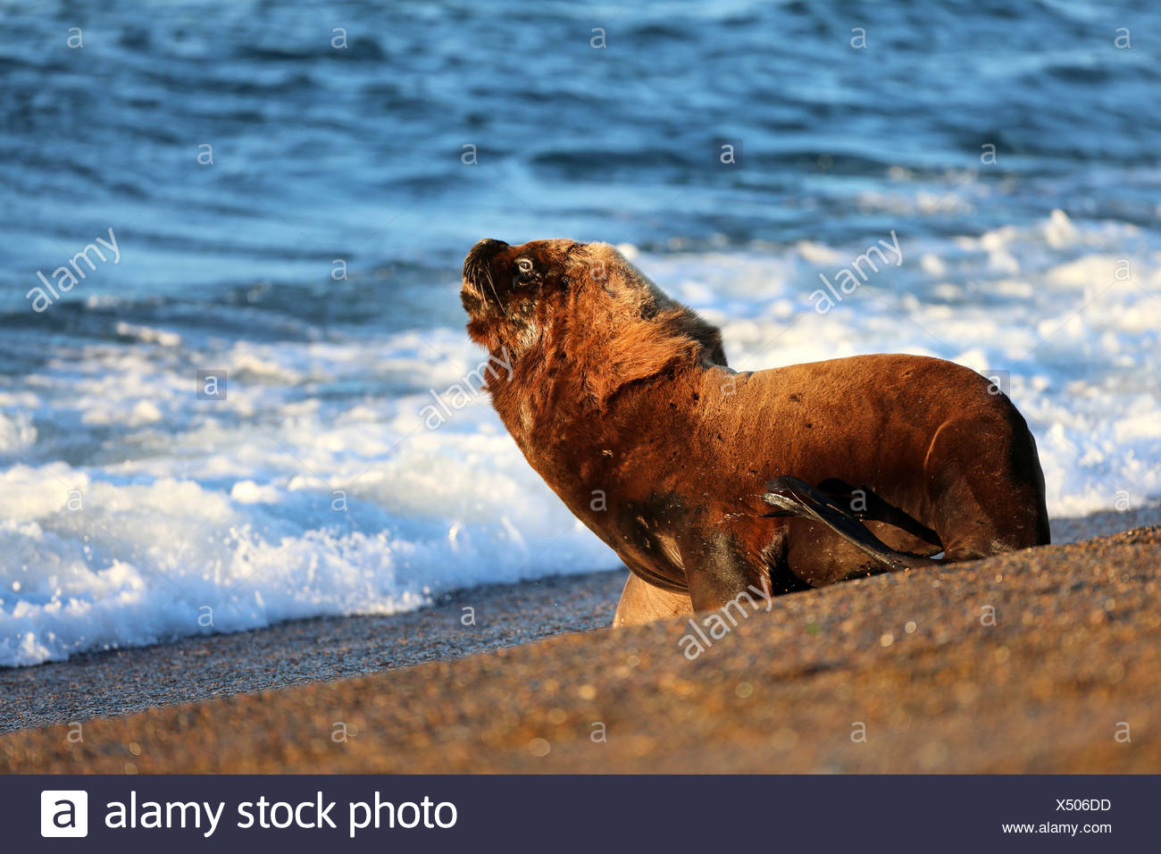 Southern sea lion, South American sea lion, Patagonian sea lion (Otaria flavescens, Otaria byronia), bull walking in the water, Argentina, Patagonia, Valdes Stock Photo