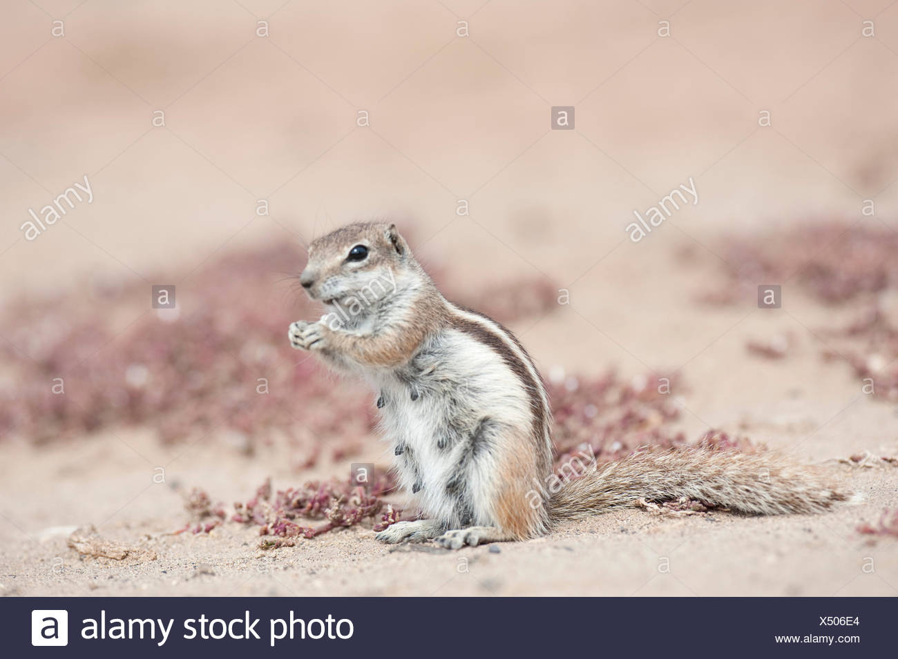 Barbary ground squirrel, Fuerteventura, Canary Islands - Stock Image