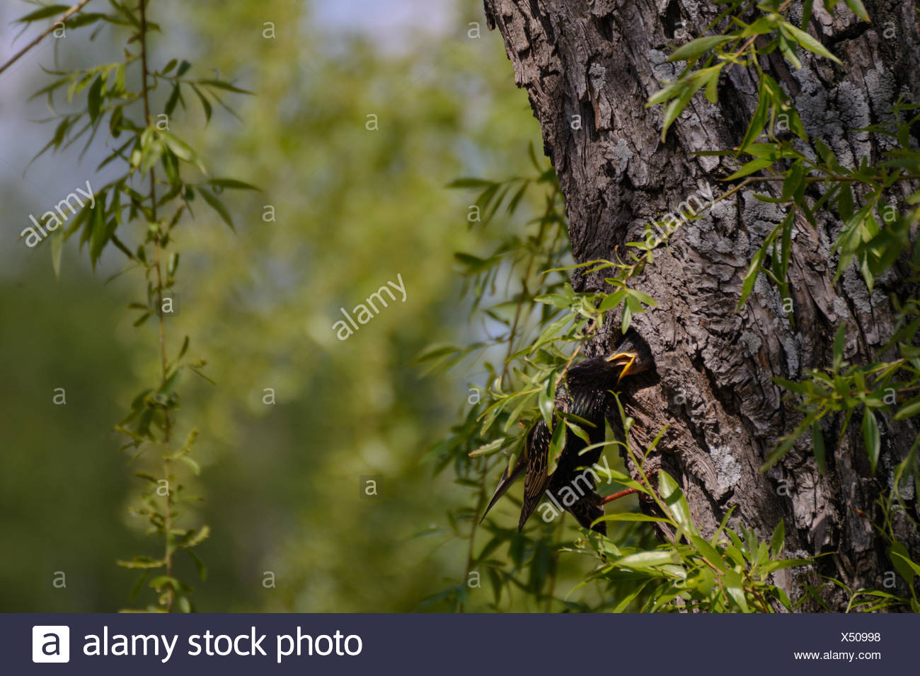 star feeding young in the nest - close Stock Photo