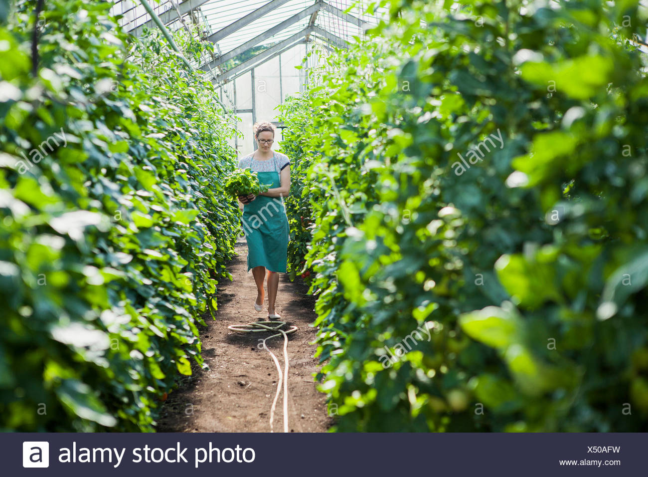 Female gardener among tomato plants in greenhouse - Stock Image