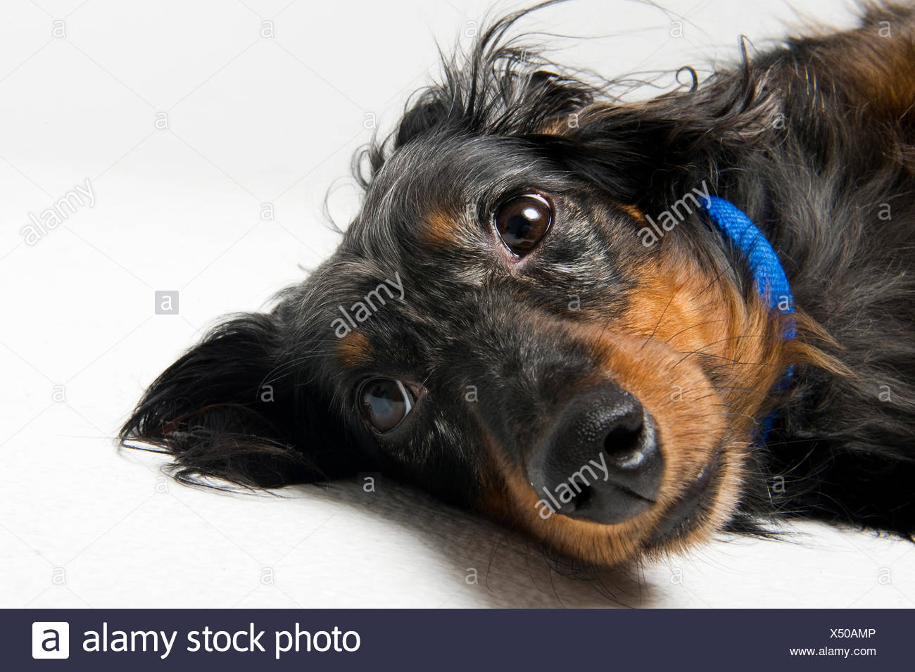 A black and tan longhaired dachshund lays on his side. Stock Photo