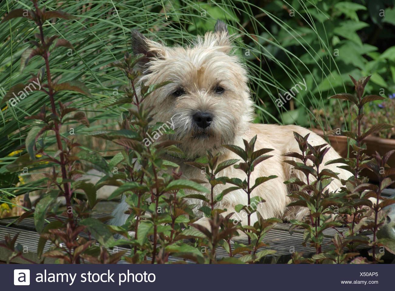 dog terrier species animal dog species pedigree cairn hunderasse cairn terrier - Stock Image