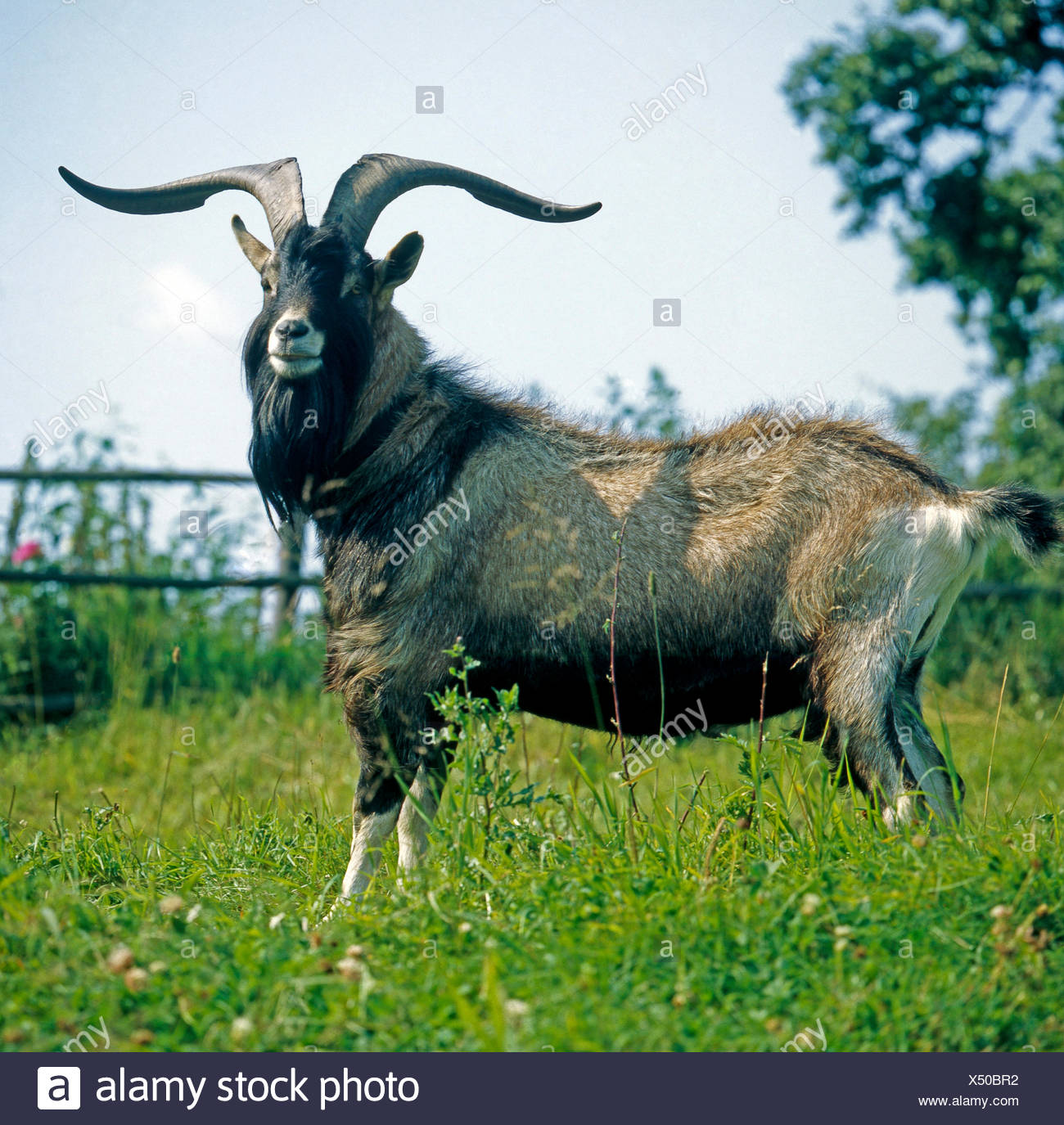 Billy goat of the Thuringian goat, an old breed, grazing on a paddock - Stock Image