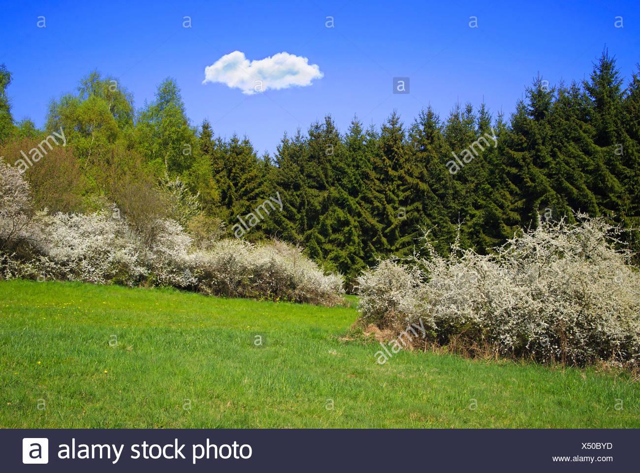 blackthorn, sloe (Prunus spinosa), spring landscape with blooming blackthorns, Germany, Rhineland-Palatinate, Eifel - Stock Image