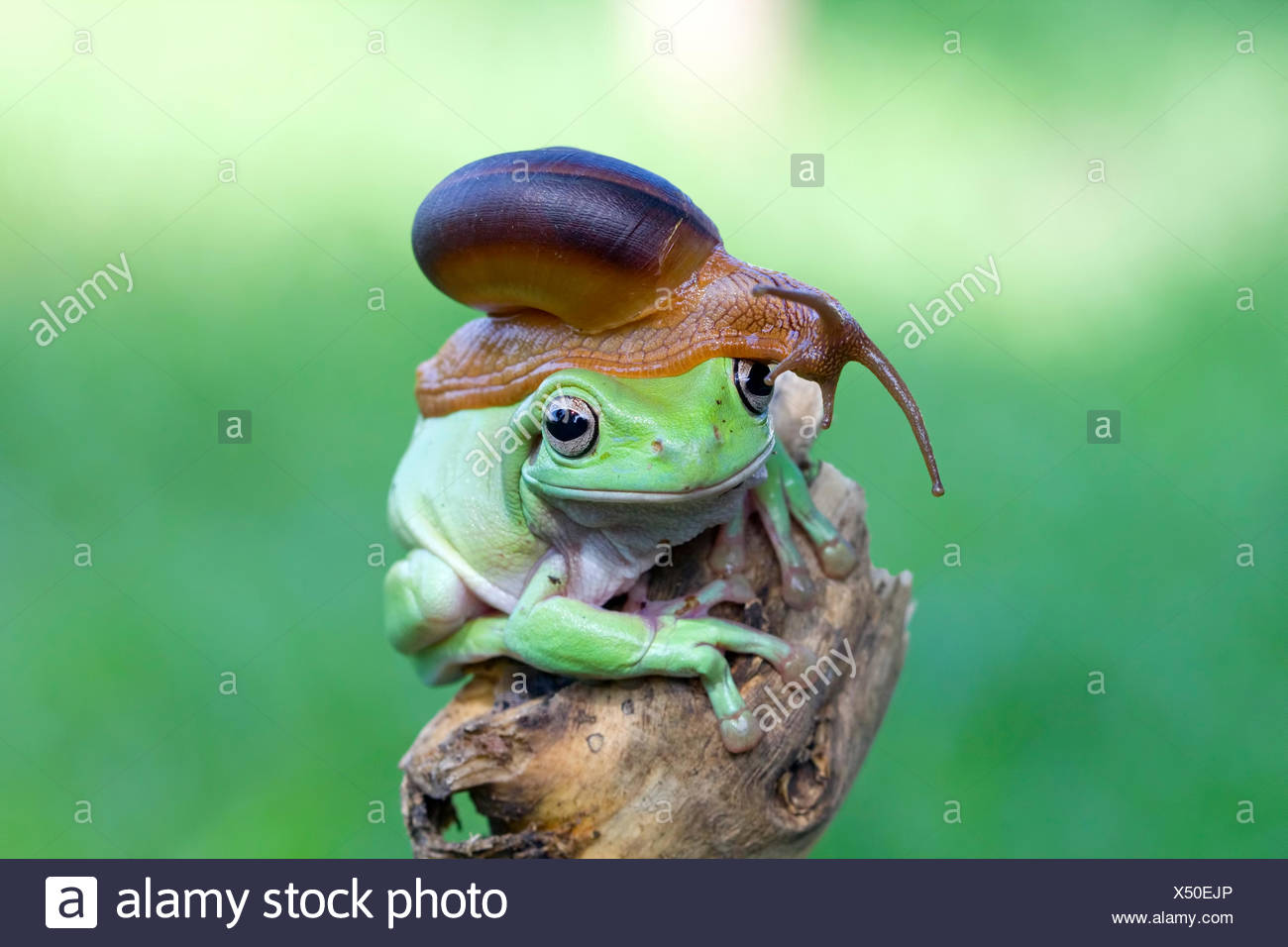 Snail sitting on top of a frog - Stock Image