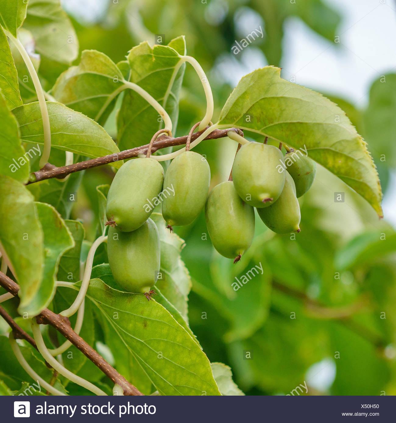 Tara Vine, Bower Actinidia, Mini Kiwi (Actinidia arguta 'Ambrosia', Actinidia arguta Ambrosia), cultivar Ambrosia, Germany - Stock Image