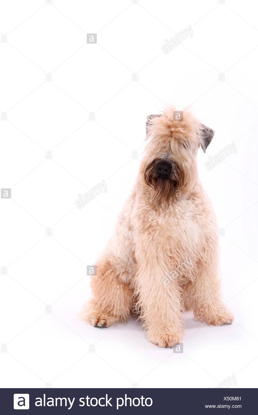Soft Coated Wheaten Terrier Dog Sitting Stock Photos & Soft Coated ...