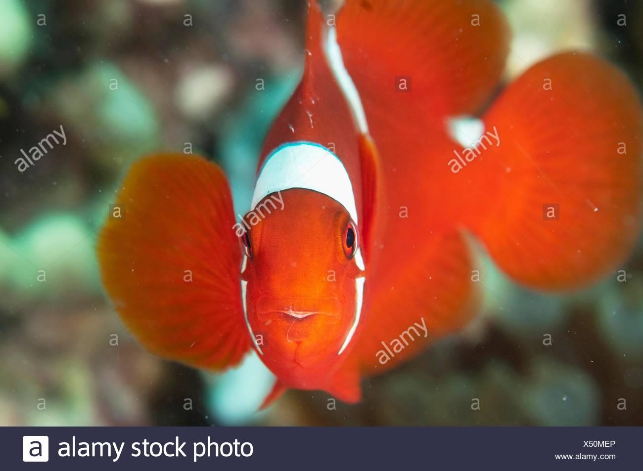 Spinecheek Anemonefish (Premnas biaculeatus), near Pulau