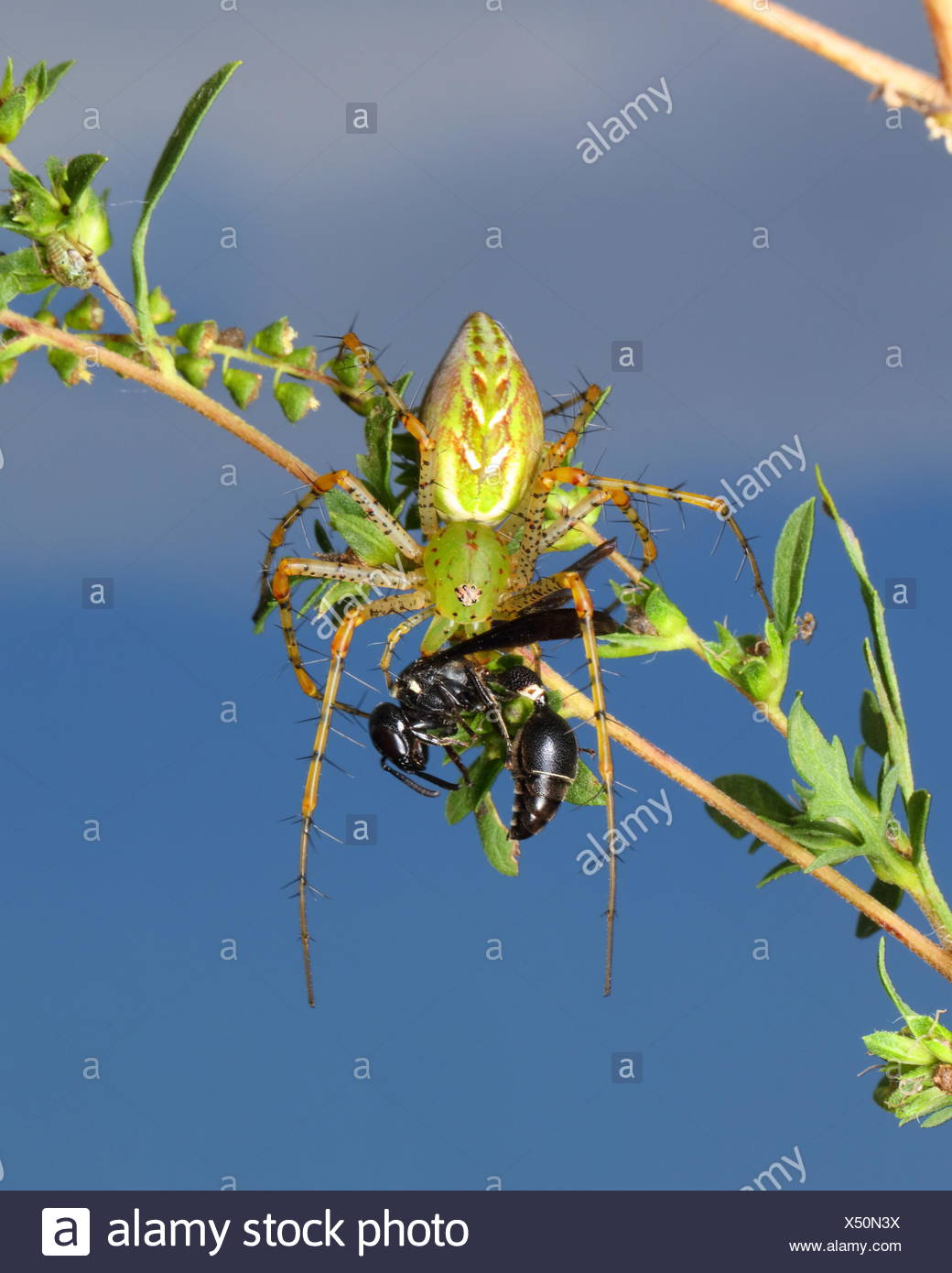 A green lynx spider, Peucetia viridans, preying on a wasp. Stock Photo