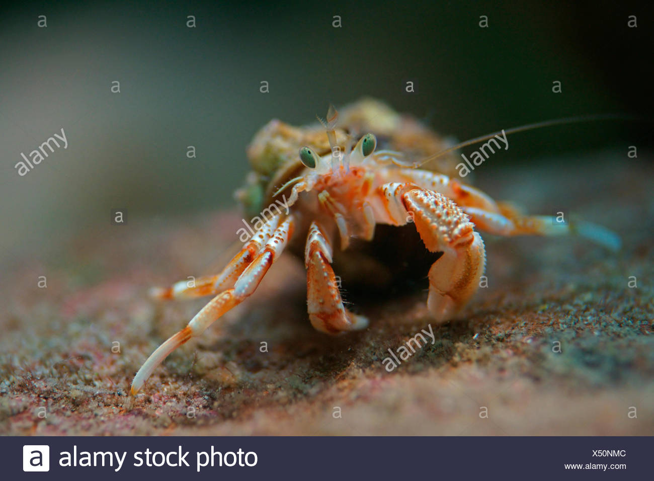 Common Hermit Crab (Pagurus bernhardus, Eupagurus bernhardus), sea water aquarium Helgoland, Schleswig-Holstein, Germany - Stock Image