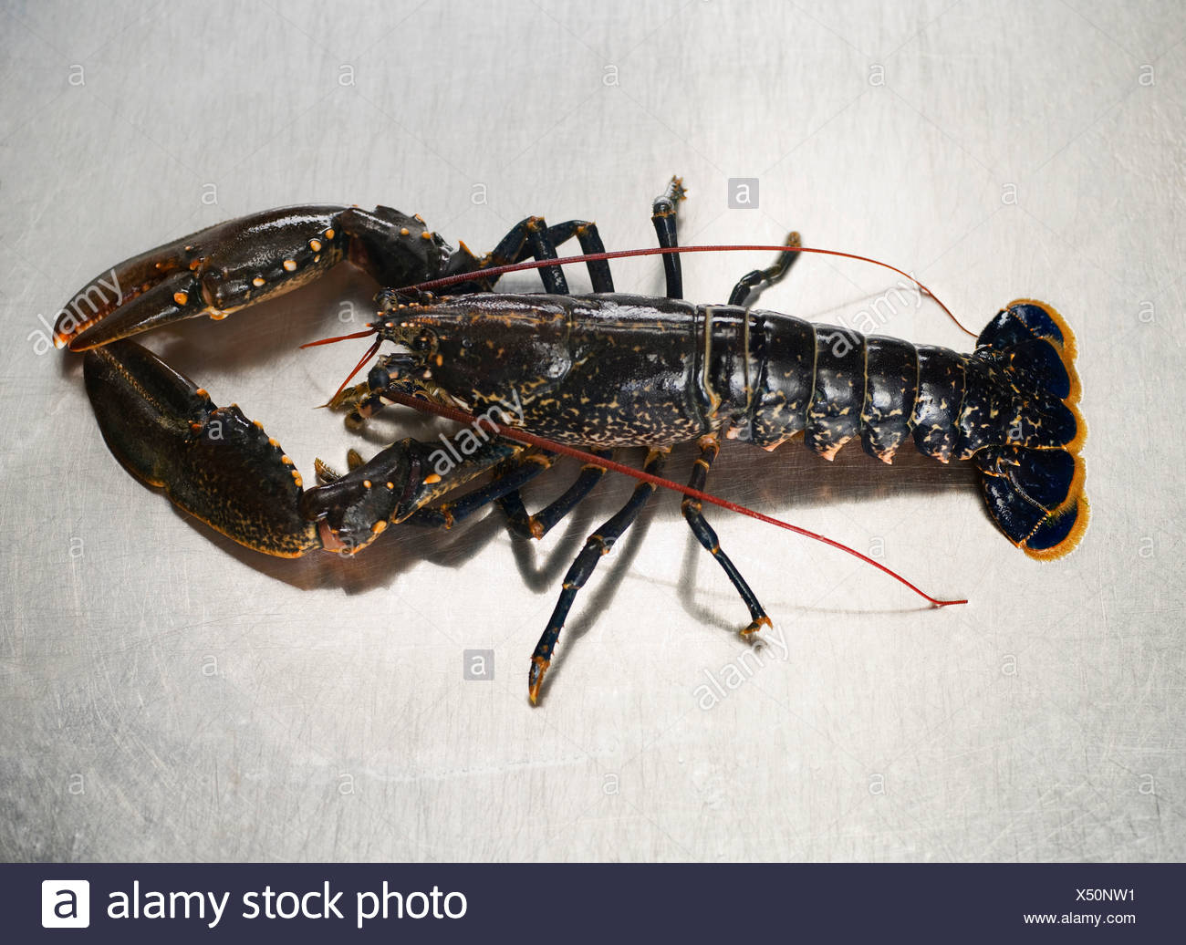 A lobster on a stainless steel surface - Stock Image