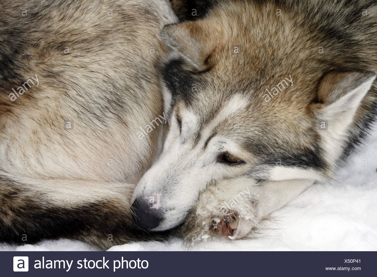 Sleeping Siberian Husky in snow - Stock Image