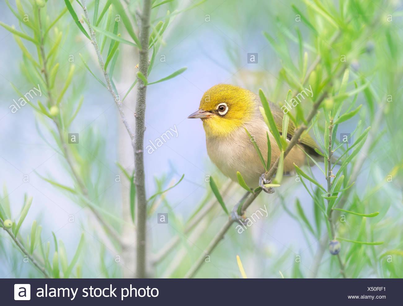 Silvereye (Zosterops lateralis) bird perched on branch, Melbourne, Victoria, Australia - Stock Image