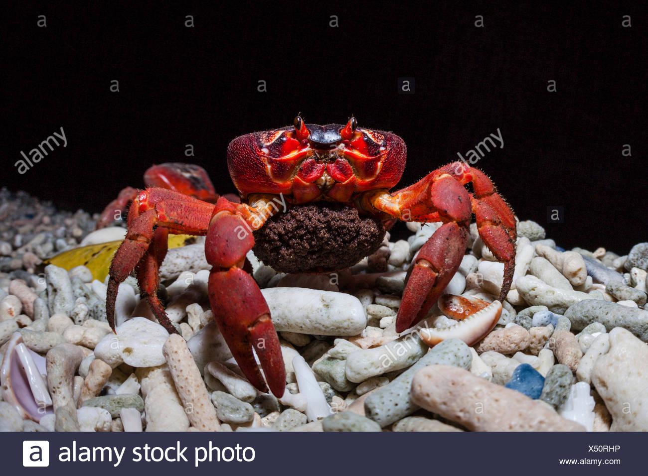 Christmas Island Red Crab migrate for spawning, Gecarcoidea natalis, Christmas Island, Australia - Stock Image