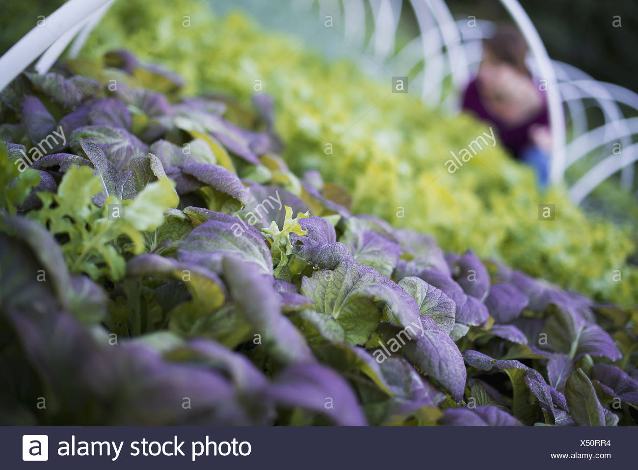 Woodstock New York USA farmer working among plants salad leaf vegetables - Stock Image