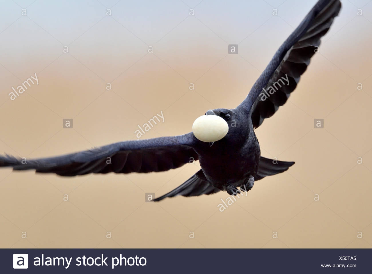 Rook (Corvus frugilegus) flying with stolen egg from a nest of an Eurasian Coot (Fulica atra), Canton of Neuchâtel, Switzerland - Stock Image