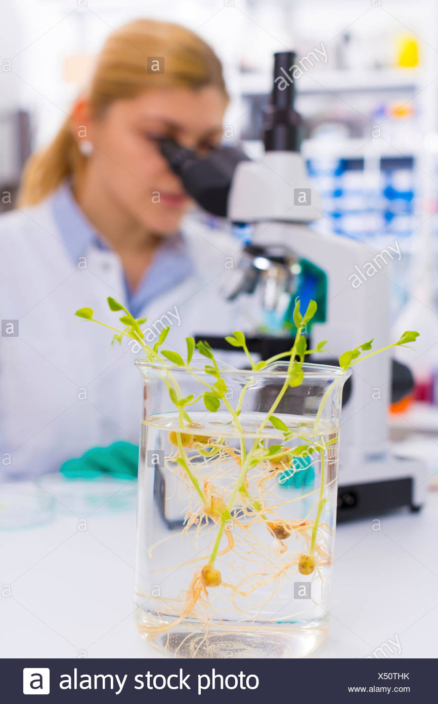MODEL RELEASED. Female chemist using microscope with genetically modified plants in the foreground. - Stock Image