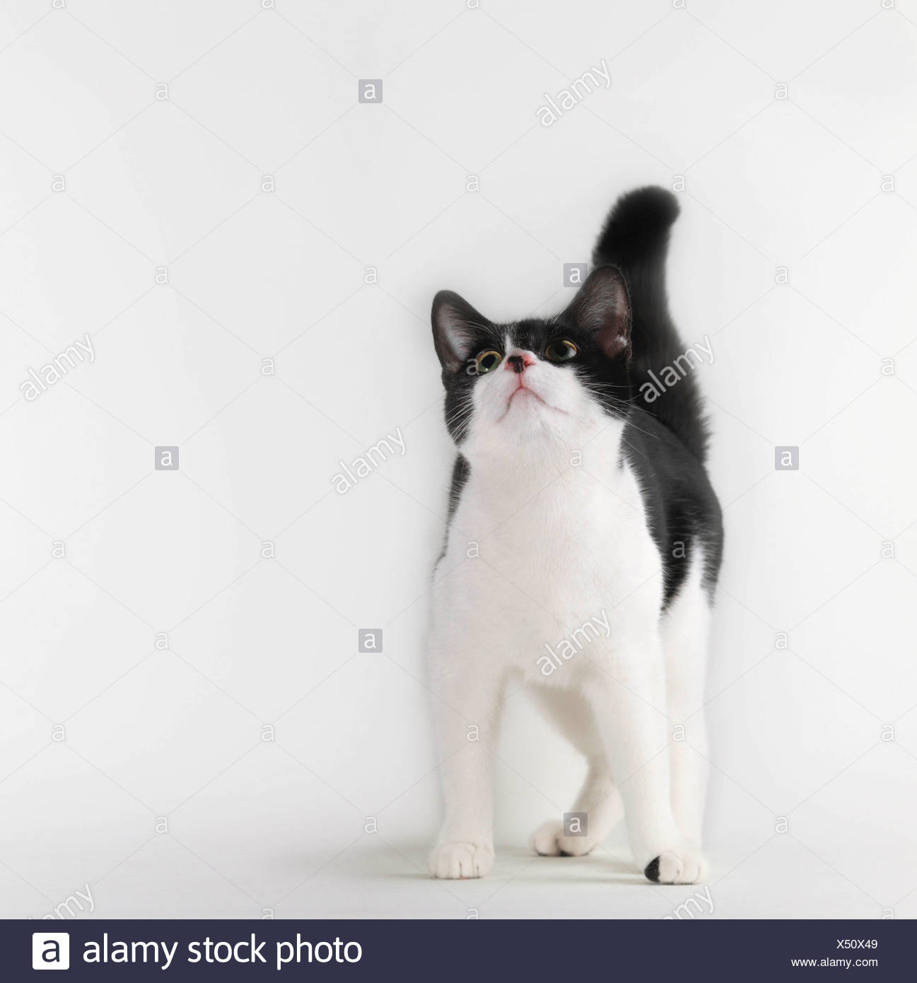 Black and white cat looking up - Stock Image