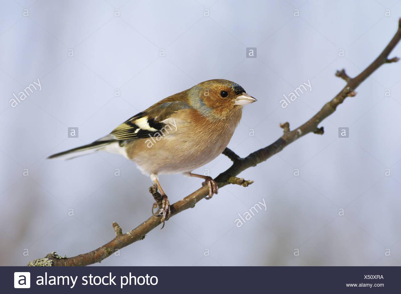 chaffinch on twig / Fringilla coelebs - Stock Image