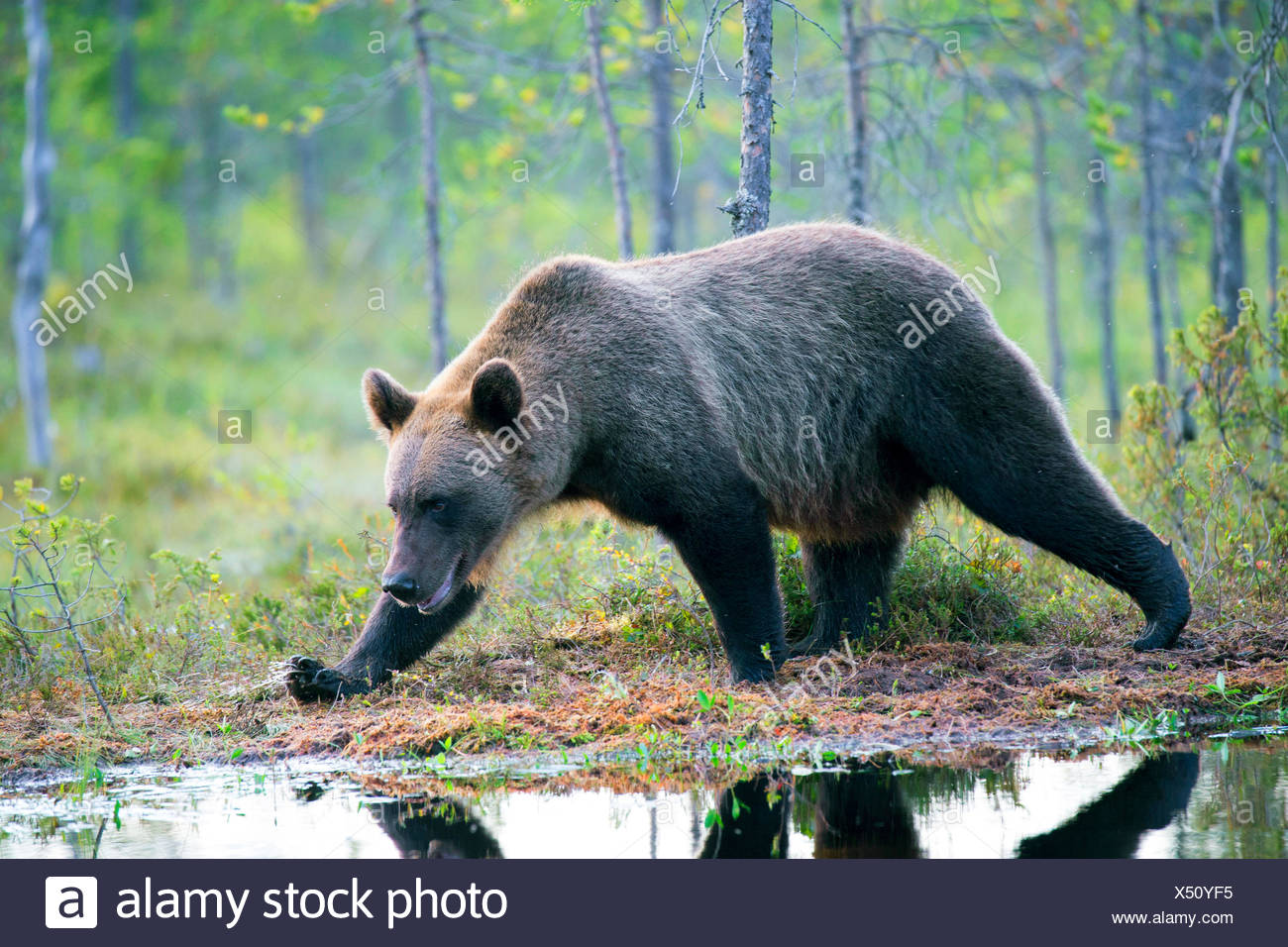 European brown bear (Ursus arctos arctos), walking on the lakefront in a forest, Finland, Kajaani Region Kuhmo, Kuikka - Stock Image