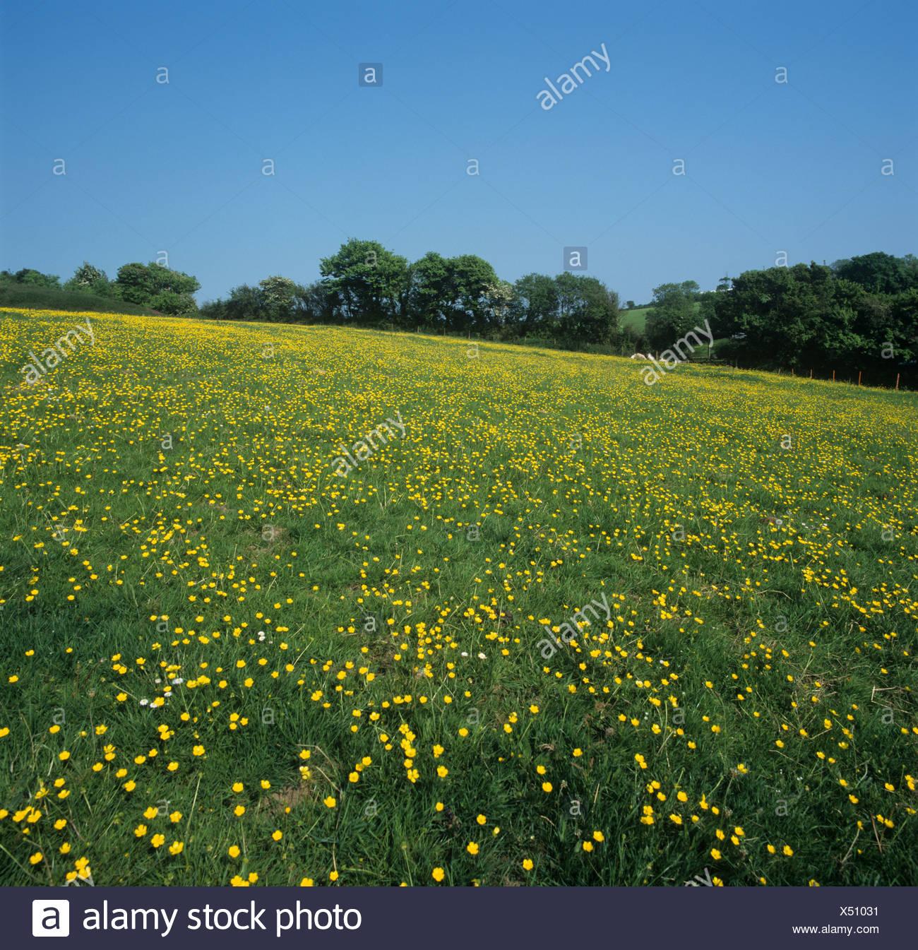 Field buttercups Ranunculus acris flowering in spring pastureland Devon - Stock Image