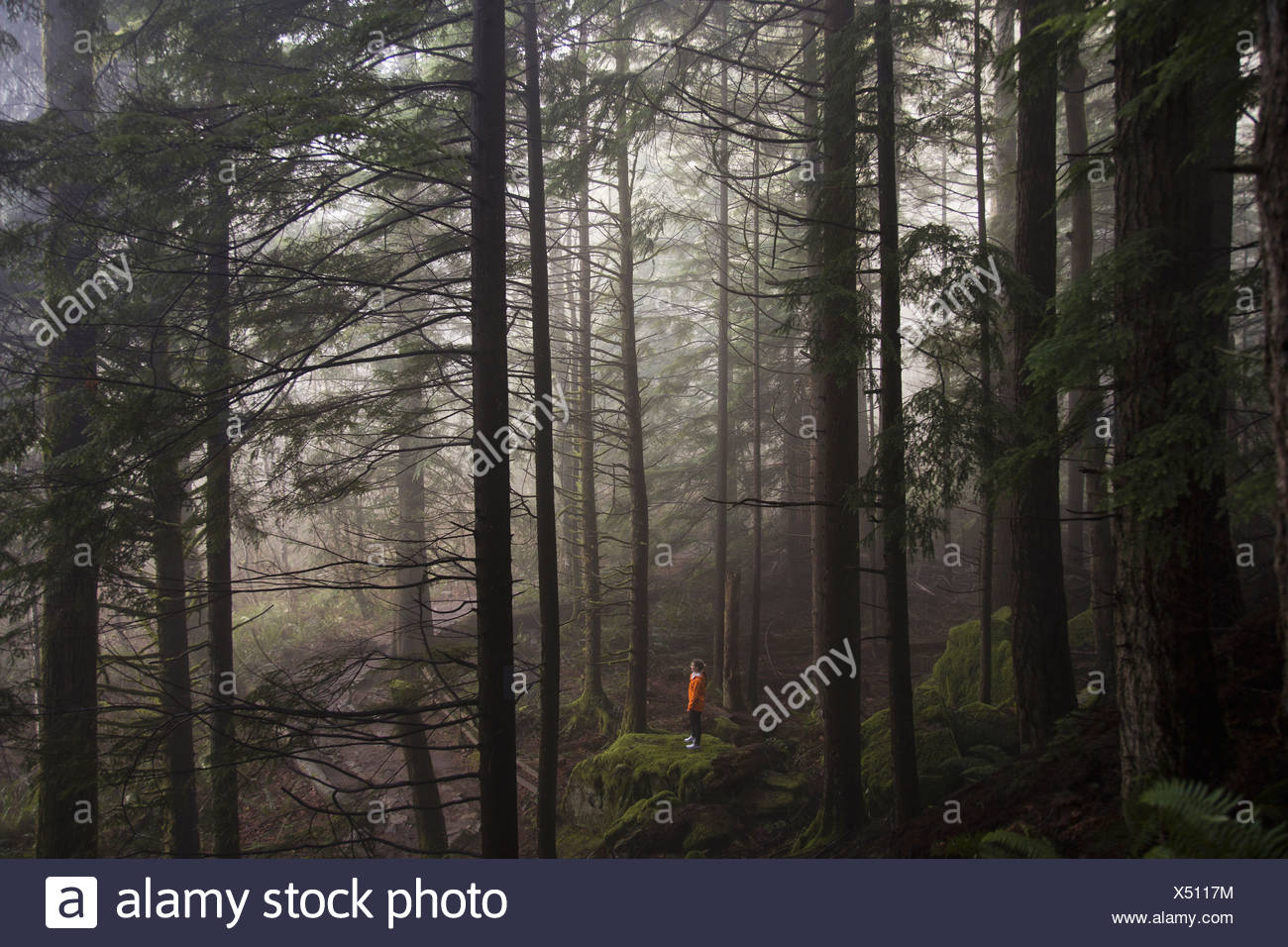 A man stands on a mossy rock overlooking a thick forest on a foggy morning near North Bend Washington - Stock Image