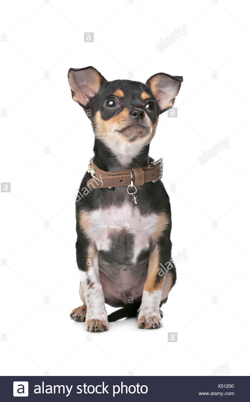 Black and Tan Chihuahua in front of a white background - Stock Image