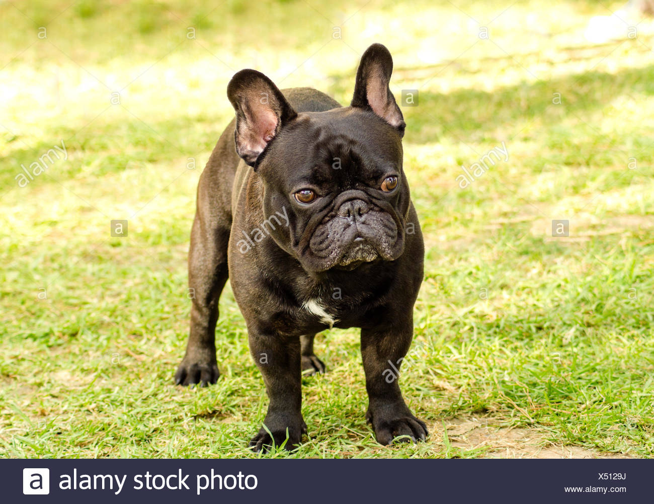 A small,young,beautiful,black French Bulldog standing on the lawn. Frenchies have distinct bat ears, a short face and they are good companion dogs. Stock Photo