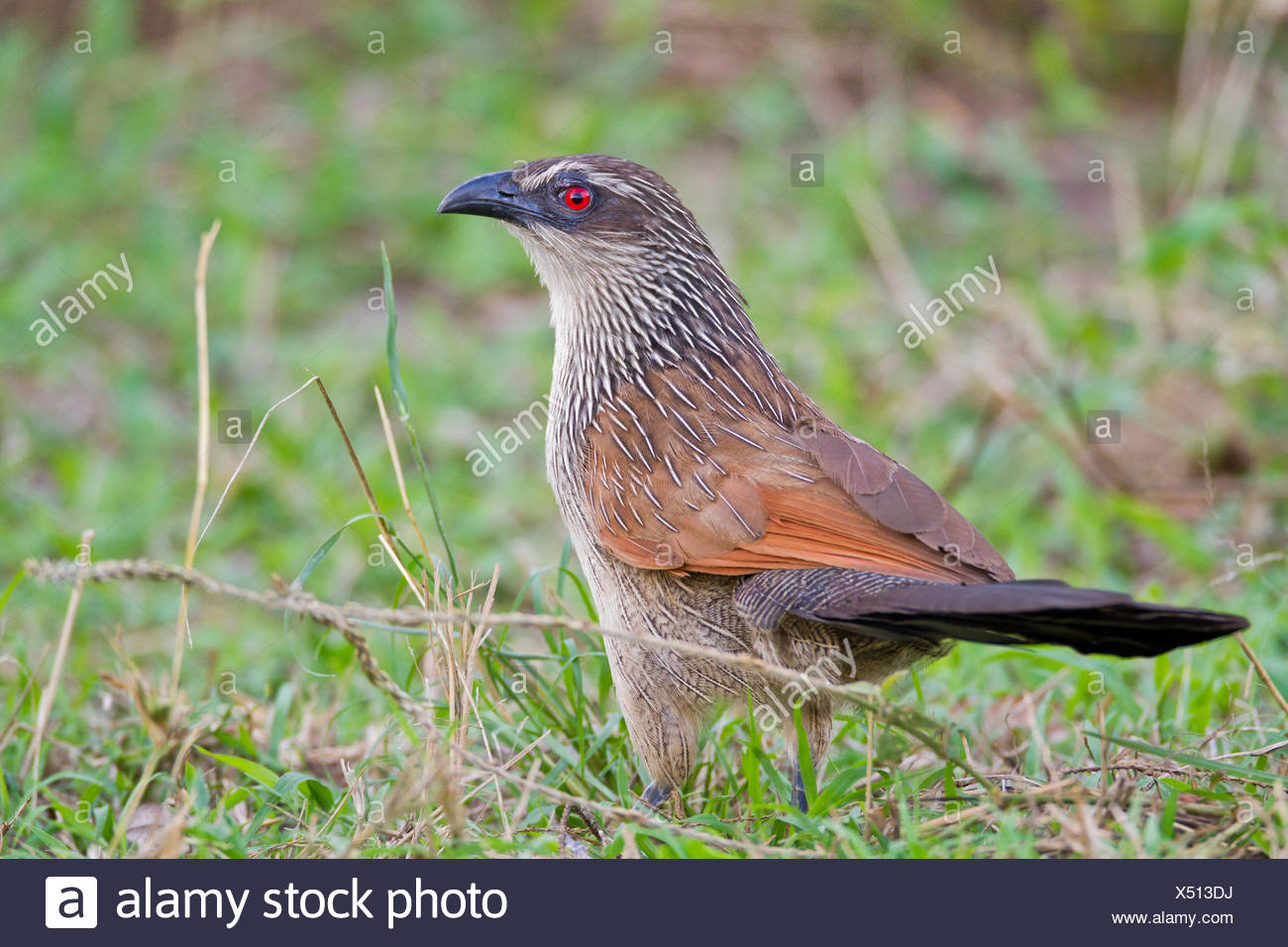 Close-up of a white-browed coucal, Centropus superciliosus. - Stock Image