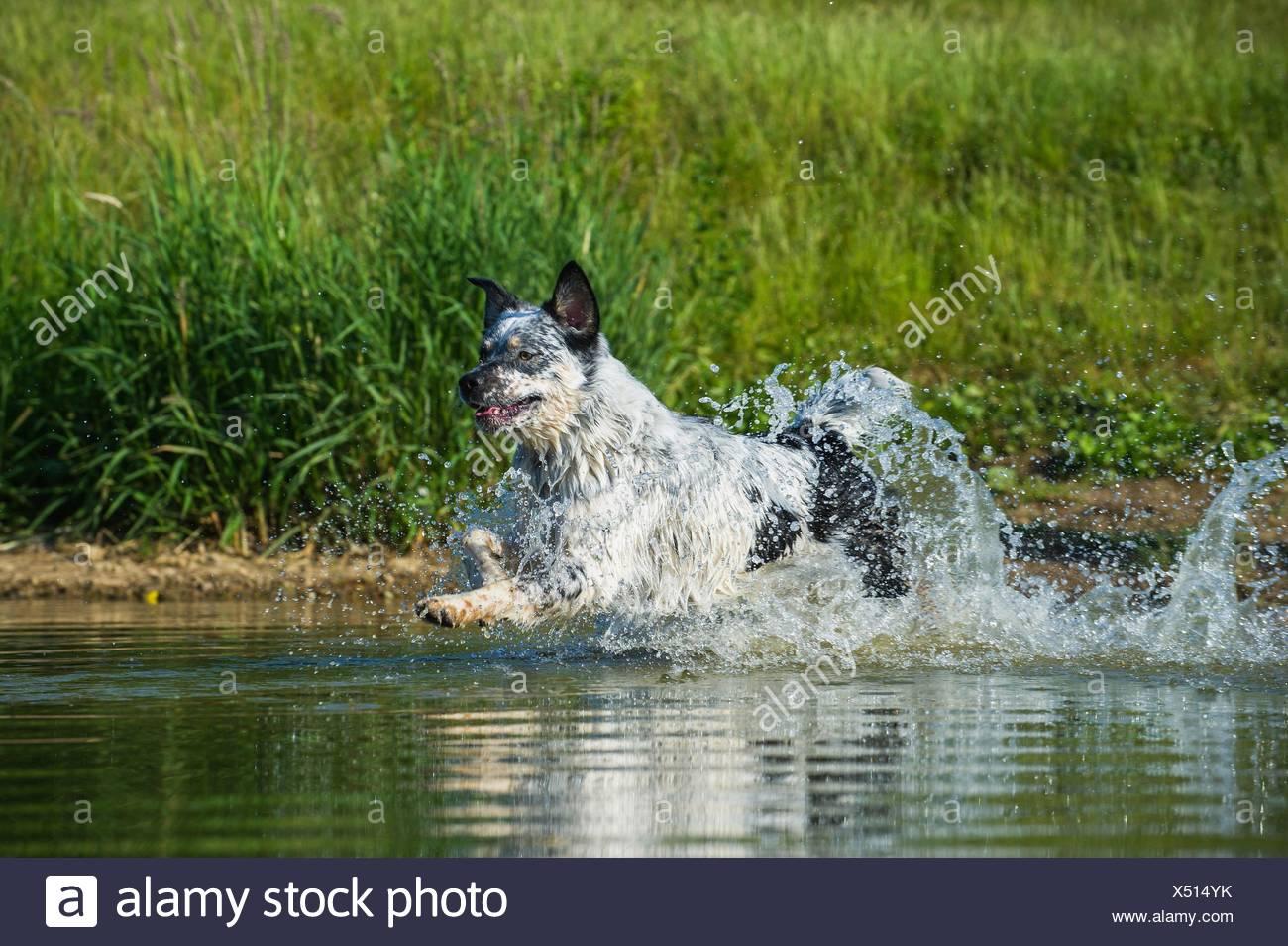 running Australian-Cattle-Dog-Mongrel - Stock Image