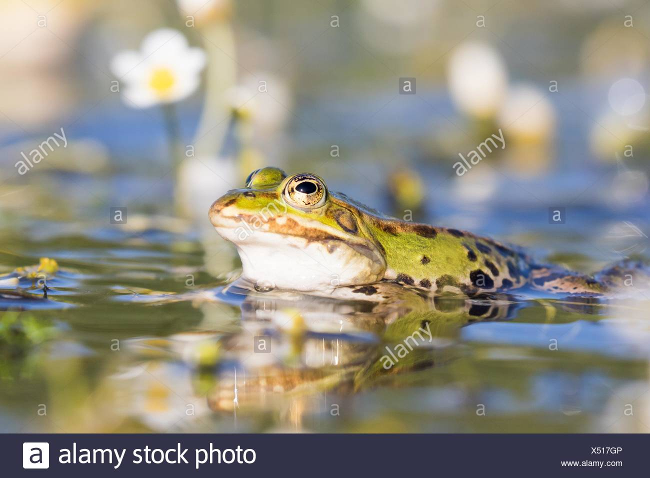 Edible frog (Pelophylax esculentus) in water, white water-crowfoot (Ranunculus aquatilis), Hesse, Germany - Stock Image