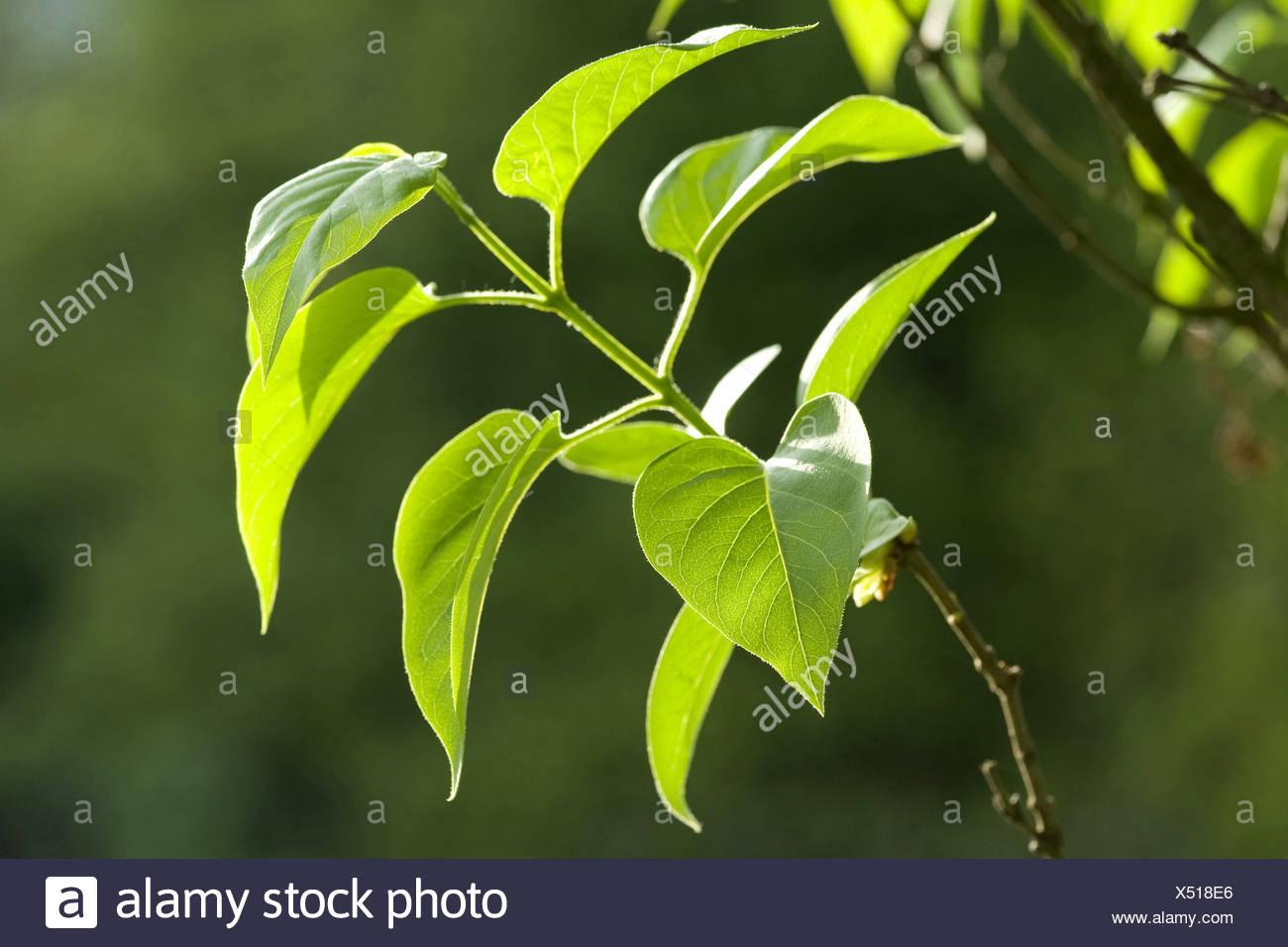 common lilac (Syringa vulgaris), twig with leaves, Germany - Stock Image