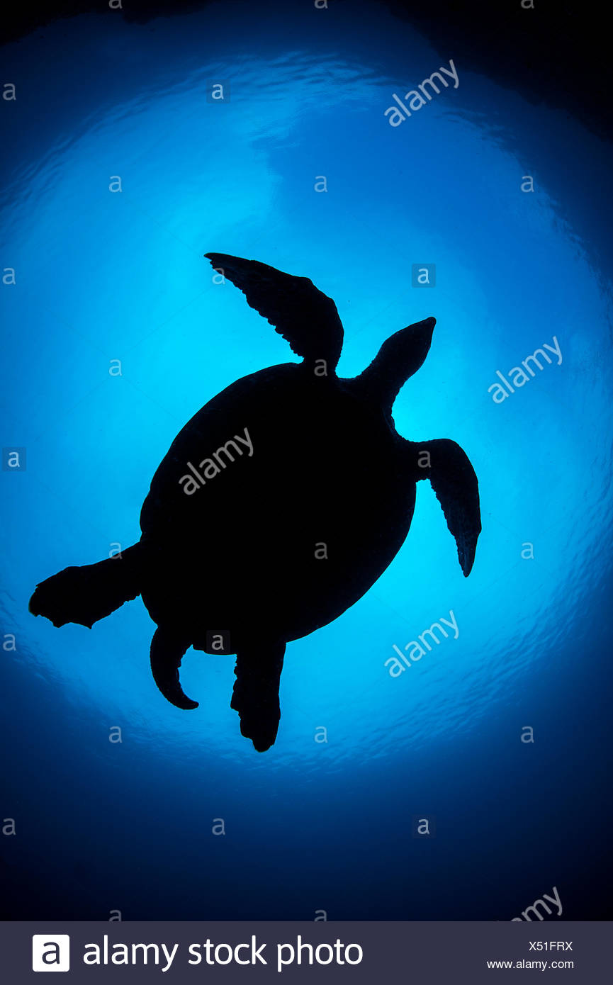 Silhouette of large male Hawksbill turtle (Eretmochelys imbricata) swimming in open water above coral reef. Boo West, Misool, Raja Ampat, West Papua, Indonesia. Tropical West Pacific Ocean. Ceram Sea. - Stock Image