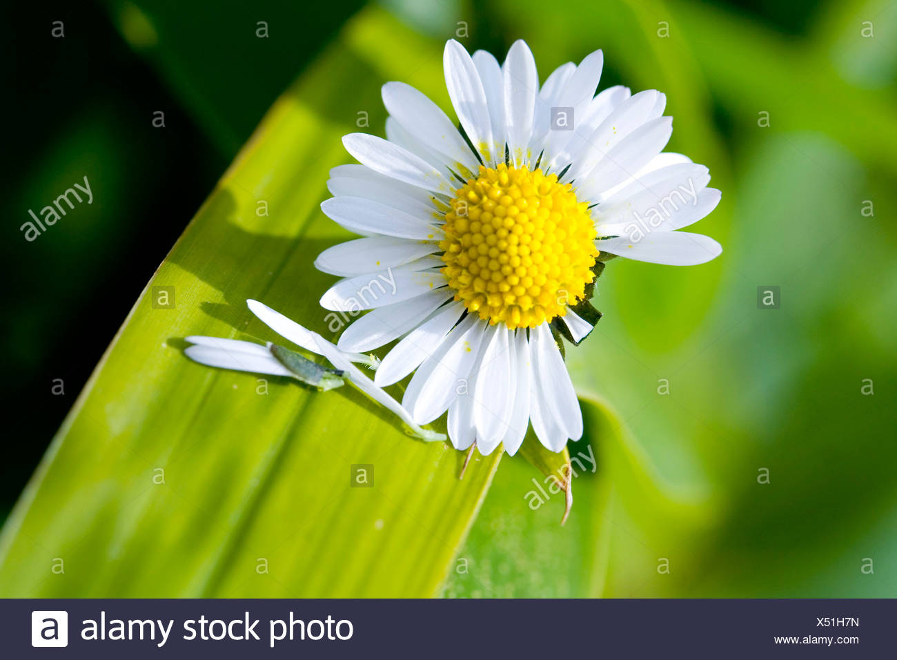 Close-up of white daisy (Bellis perennis) - Stock Image