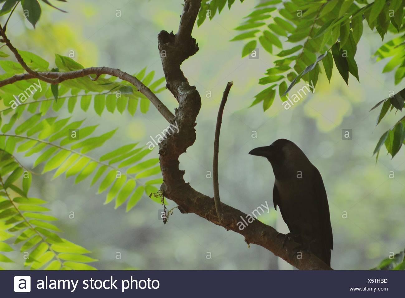 Black Raven Perching On Robinia Tree - Stock Image
