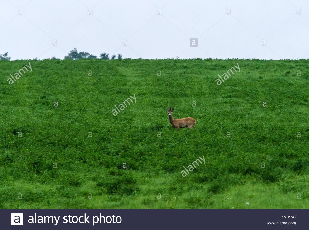 Shy deer - Stock Image