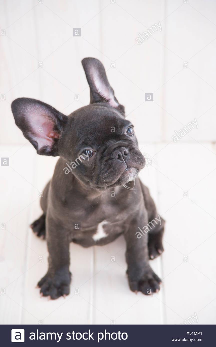 French bulldog looking up - Stock Image