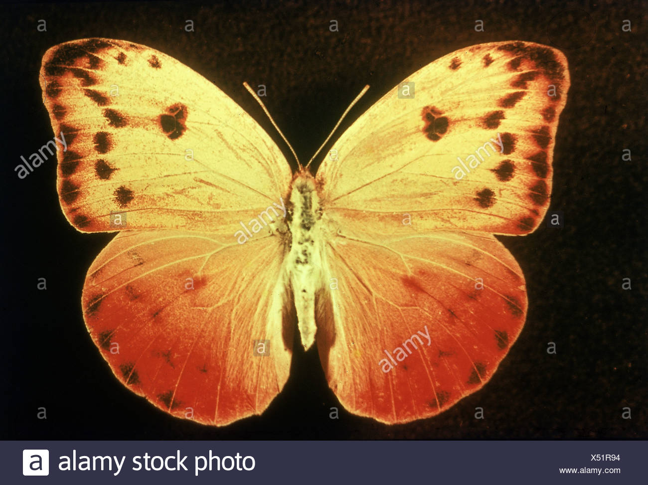 zoology / animals, insect, butterflies, Catopsilia avellaneda, distribution: Cuba, Lepidoptera, butterfly, moth, papilionoidea, - Stock Image