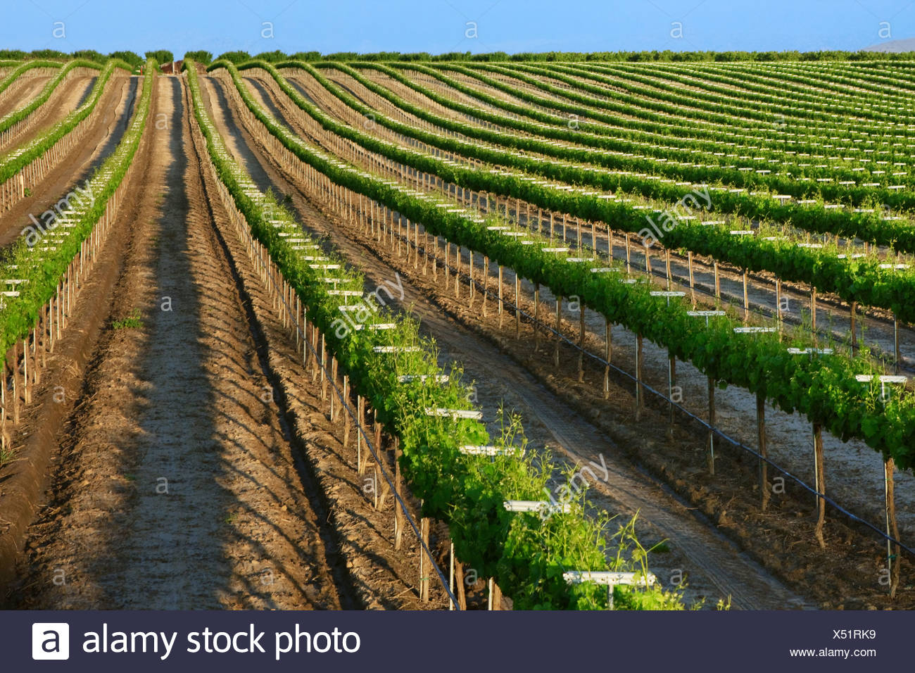 Agriculture - A rolling Muscat wine grape vineyard showing late Spring foliage growth in late afternoon sun / California. Stock Photo