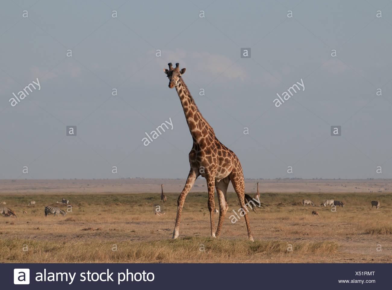 Common Giraffe in Amboseli National Park Kenya East Africa - Stock Image