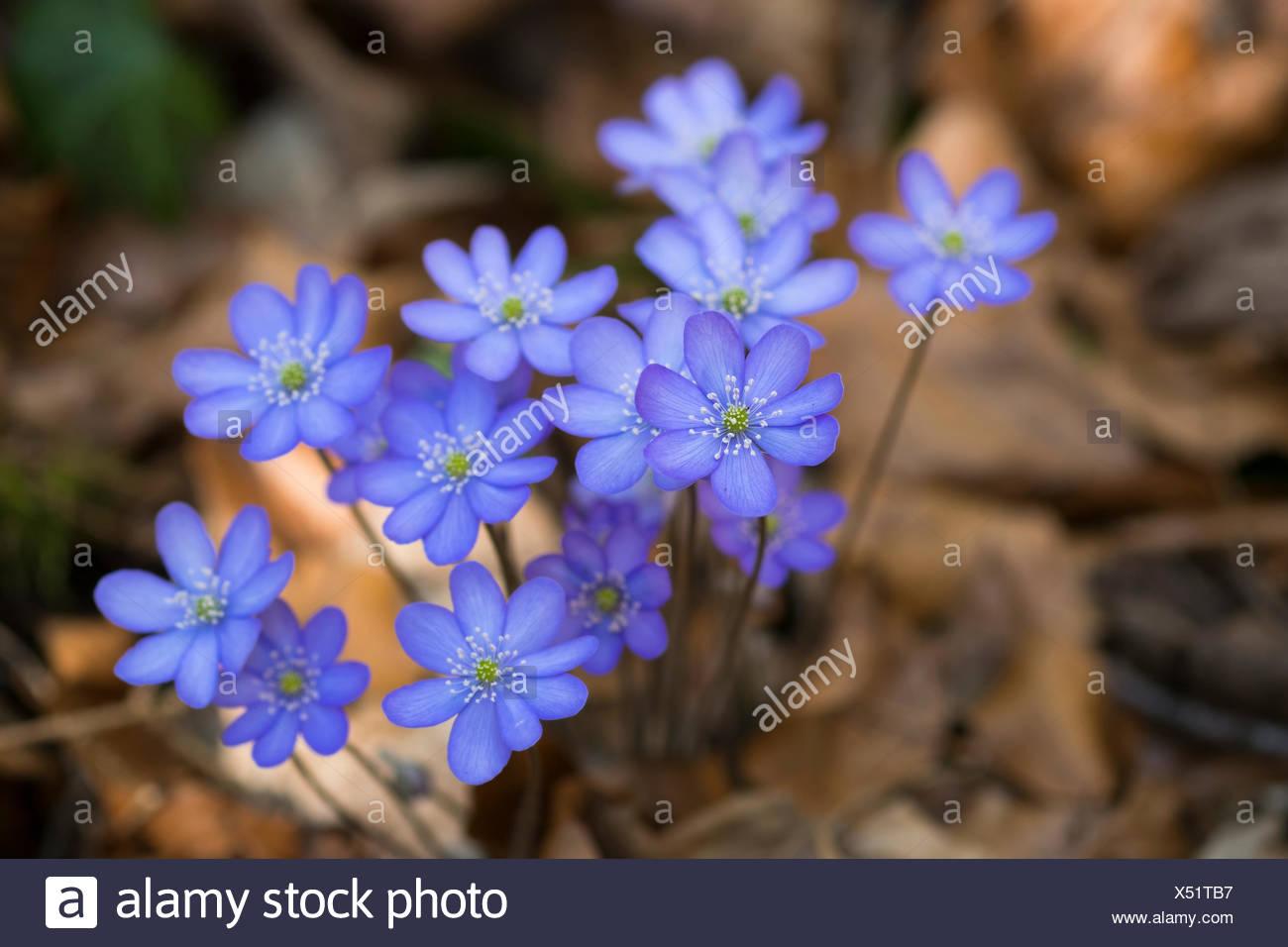 Blüten, Leberblümchen (Hepatica nobilis), Oberbayern, Bayern, Deutschland, Frühling - Stock Image