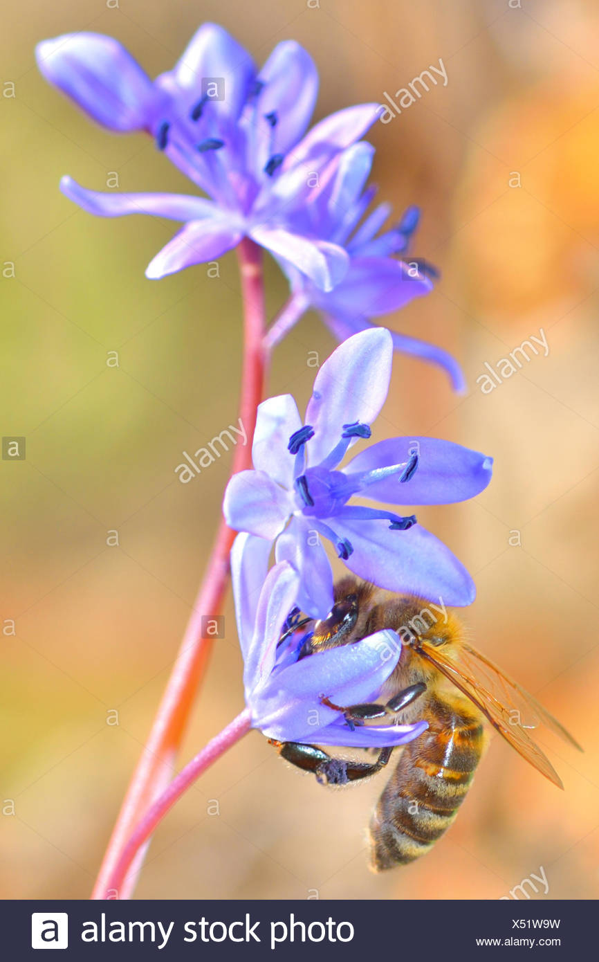 beautiful violet flower and a bee is gathering honey. - Stock Image