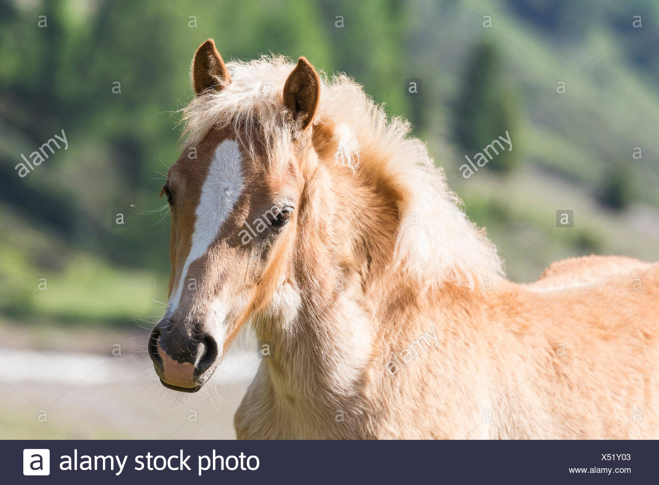 Haflinger. Portraet eines Fohlen.  Haflinger Horse. Portrait of a foal. Italy - Stock Image