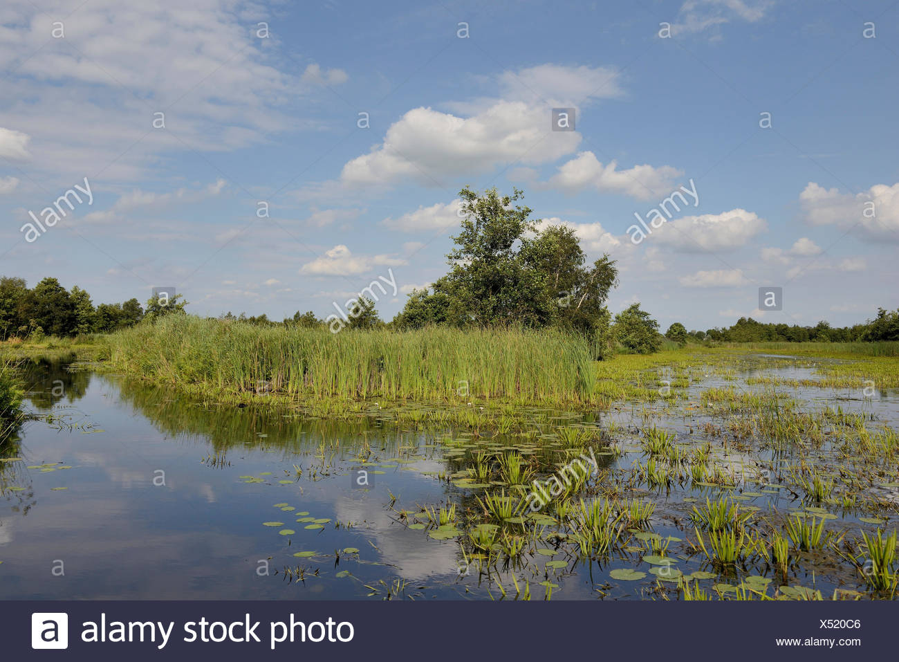 A landscape with open water, typical view with Water Soldier (Stratiotes aloides) of the National Parc Weerribben-Wieden, The Netherlands, Overijssel, National Parc Weerribben-Wieden - Stock Image